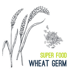 Wheat super food hand drawn sketch vector