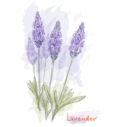 lavender flowers vector image vector image