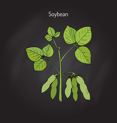 soybean or soya bean vector image