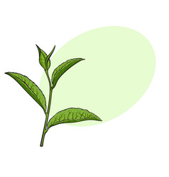 Hand drawn green tea leaf side view sketch vector