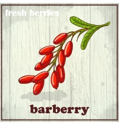 Hand drawing of barberry fresh vector