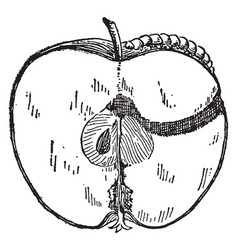 Worm in apple vintage vector
