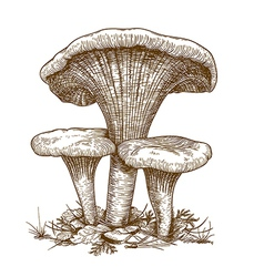 engraving three mushrooms vector image