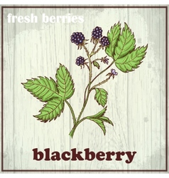 Hand drawing of blackberry fresh vector