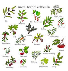 vintage collection of hand drawn berries plants vector image vector image