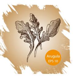 background sketch arugula vector image vector image