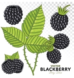 Blackberry Set vector image vector image