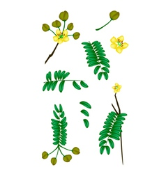 Parts of senna siamea on white background vector