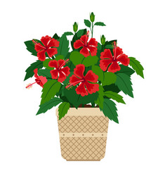 Hibiscus house plant in flower pot vector