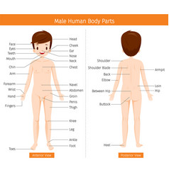 Male human anatomy external organs body vector