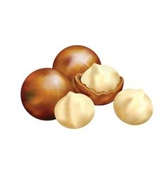 nuts of macadamia vector image vector image