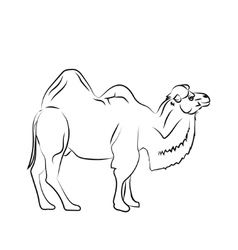 Camel is herbivorous enduring mammal with humps vector