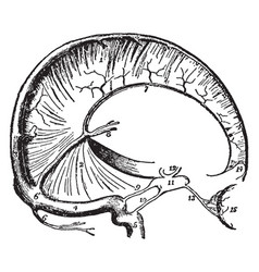 Dura mater and cranial sinuses vintage vector