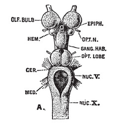 Brain of sea lamprey vintage vector