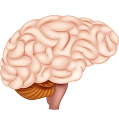 Human Brain Anatomy vector image