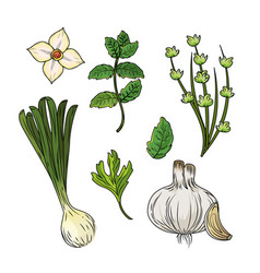 Set herbs and spices plants and organ food vector