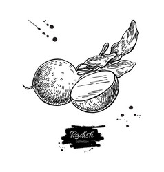 Radish hand drawn  isolated vector
