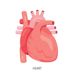 heart human internal organ diagram vector image