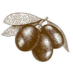 Engraving olives vector