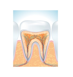 tooth root vector image vector image