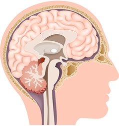 Cartoon of human internal brain anatomy vector