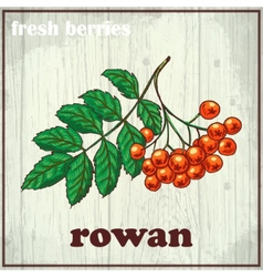 Hand drawing of rowan fresh berries vector