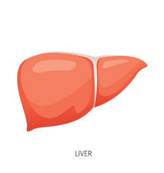 Liver human internal organ diagram vector