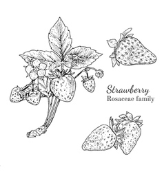 Ink strawberry hand drawn sketch vector image vector image