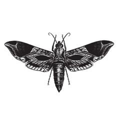 Satellite sphinx moth vintage vector