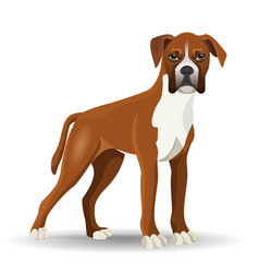 Boxer dog full length isolated vector