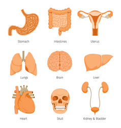 human internal organs objects icons set vector image
