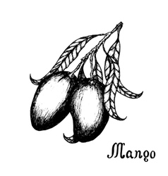 Hand drawn mango branch with leafs sketch style vector