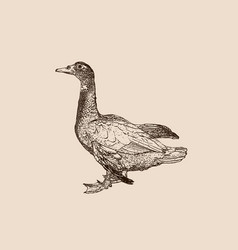 duck engraving on retro background vector image vector image