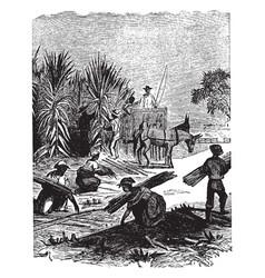 Gathering sugar cane vintage vector