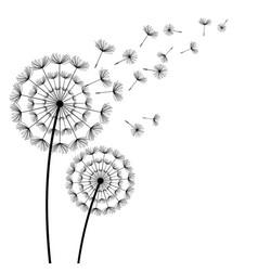 black dandelion with flying fluff on white vector image