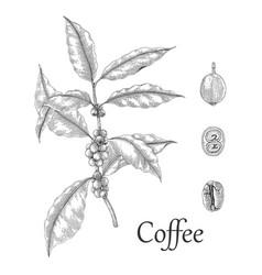 coffee tree hand drawing engraving style vector image