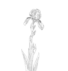 flower iris contours vector image vector image