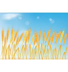 ripe yellow wheat ears vector image vector image