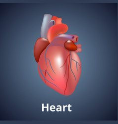 Realistic human heart isolated on dark gray vector