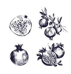Pomegranate hand drawn set collection on white vector