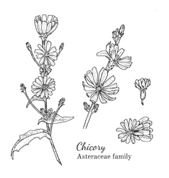 Ink chicory hand drawn sketch vector image vector image