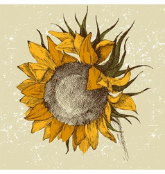 hand drawn sunflower vector image