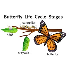 Butterfly life cycle stages vector image