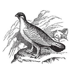 Ptarmigan bird vintage vector
