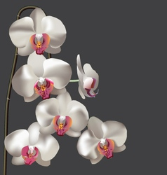 White flower moth orchid vector