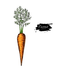 Carrot hand drawn  Vegetable vector image