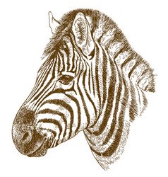engraving of zebra head vector image