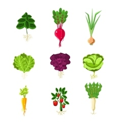 Fresh Vegetables With Roots Primitive vector image