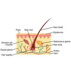 Hair and human skin anatomy vector
