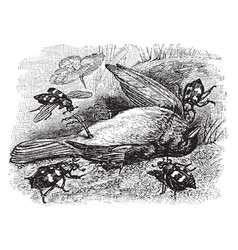 Burying beetles burying a dead bird vintage vector